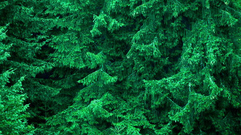 Heavy rain at deep pine tree evergreen forest Footage