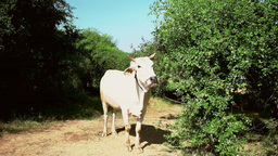Rural asian landscape with white asian buffalo. Myanmar (Burma) Footage