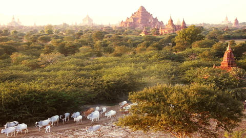 Cattle herd going through sunset landscape with Buddhist pagodas. Bagan, Myanmar Live Action
