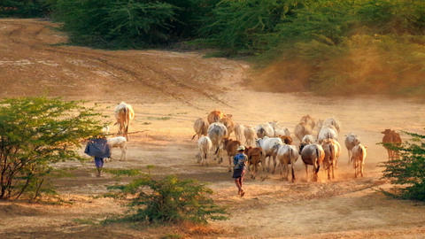 Burmese herders leads cattle herd through amazing sunset landscape Footage