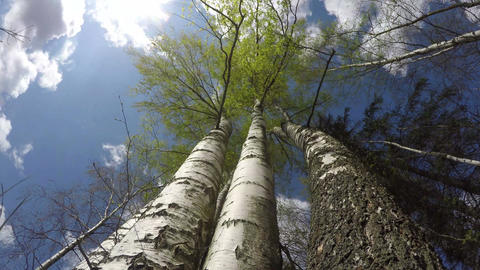 Cloudscape with birch trees, time lapse 4K Footage