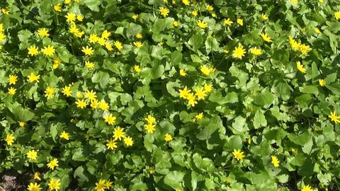 Lesser celandine flowering Footage