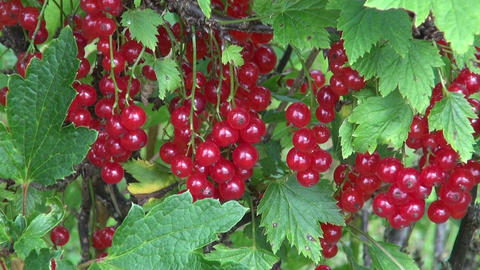 Ripe red currant berries Footage