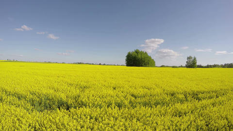 Sunshine of flowering rapeseed field, time lapse 4K Footage