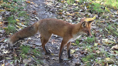 Red fox running on the road by the forest Footage