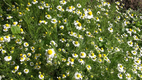 Chamomile flowering in the garden Footage
