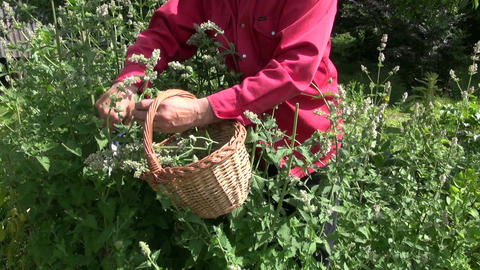 Gardener collecting mint lemon balm in the garden Live Action