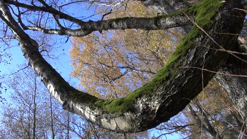 Trunk and branches of old birch tree Footage