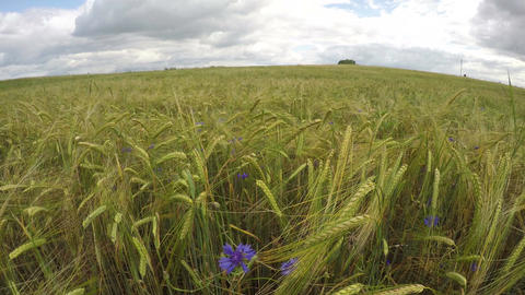 Cloudscape over green ripening barley field with blue flowering cornflowers, tim Footage