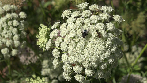 Various insects and a fly on flowering plant blossom, 4K Footage