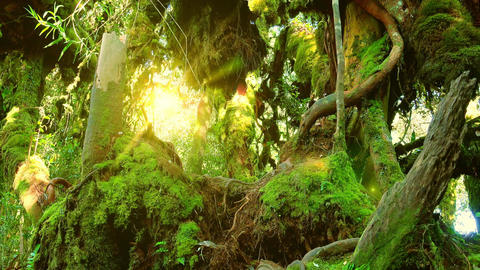 Bright sunlight breaking through dense thicket of exotic plants. Mossy forest Live Action