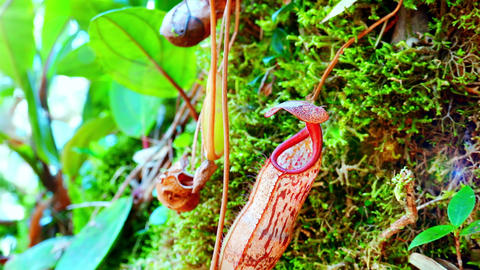 Nepenthes pitcher flower. Beautiful exotic carnivorous plant growing in jungles Live Action