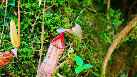 Nepenthes pitcher flower, exotic carnivorous plant growing among fluffy moss Live Action
