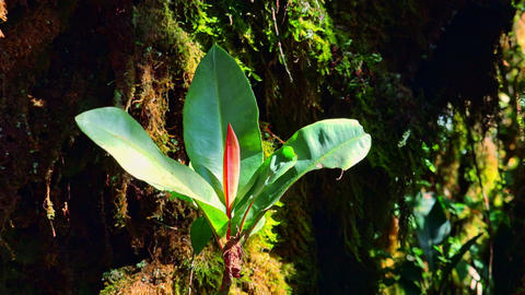 Gorgeous exotic plant with big green and red leaves. Flora of humid jungle Live Action