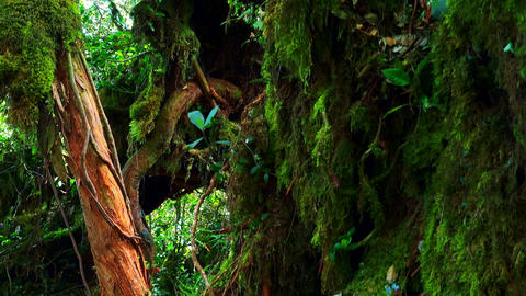 Dense thicket of exotic jungle plants and trees covered with thick green moss Footage