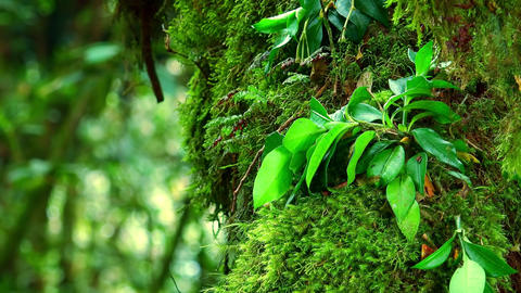 Gorgeous plants of Malaysian tropical rainforest. Magical flora of secret forest Footage