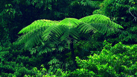 Exotic tree with big wide spread branches fluttering in wind against rainforest Footage