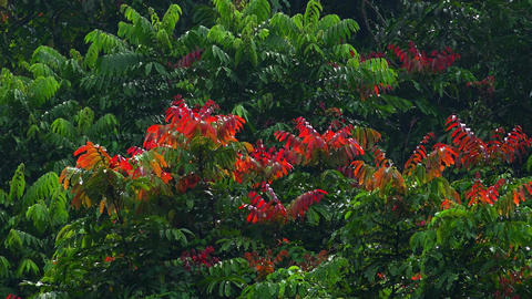 Beautiful exotic plants with big red and green leaves forming thickets of jungle Footage