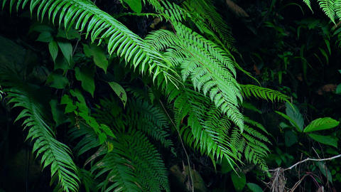 Bushy vegetation of shady woods. Dense thicket of exotic green plants. Sumatra Footage
