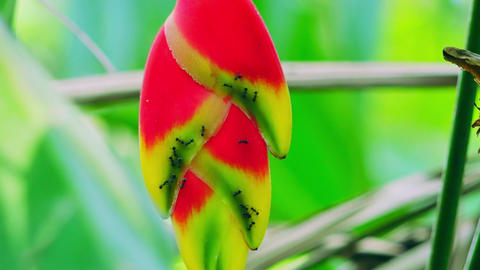 Wild Heliconia flowers among exotic bushes. Lobster-Claws in tropical jungles Footage