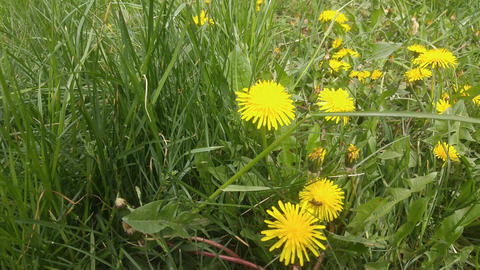 Dandelion flower blossoming composition on green grass Footage