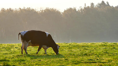 4K Cow on a farm in the morning eating grass in livestock or agricultural concep Footage