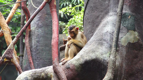Little monkey sitting on a tree and chews food Footage