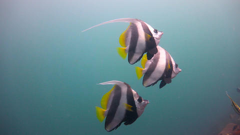 Flag butterly fish Footage