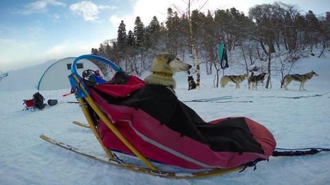 Husky. Before the race, dog-sled. The Caucasus. Russia Footage