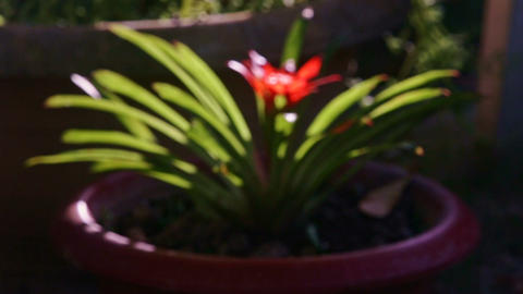 Focus Changes to Show Tropical Plant with Bright Red Flower Footage