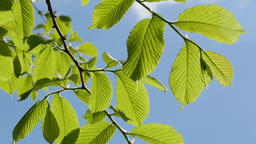Leaves on branch of tree Footage