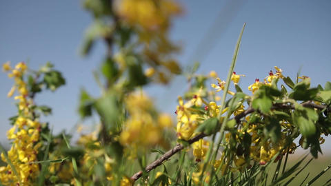 Golden currant blooming bright yellow flowers stock video footage golden currant blooming bright yellow flowers stock video footage mightylinksfo