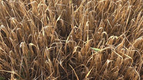 Field of ripe barley , 4K Footage