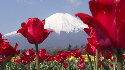 Blue Sky, Mt. Fuji, Tulip, Japan - Fix/Tilt Down/Fix Footage