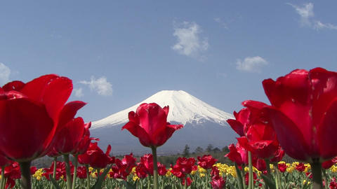 Tulip, Mt. Fuji, Japan - Fix/Zoom Back/Fix