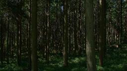Japanese Cypress #002 Footage