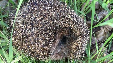 Hedgehog asleep in the grass Live Action