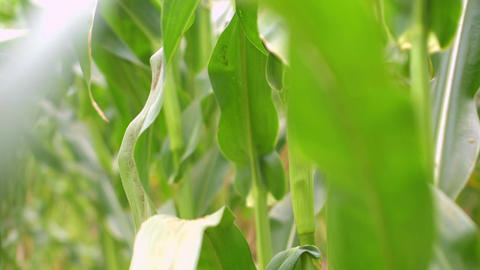 Close up on a corn plant leaf which flutters in the wind Footage