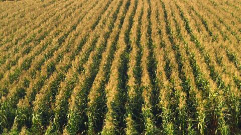 Corn field blowing in the wind - Static long shot Footage
