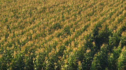 Corn field blowing in the wind - Static medium long shot Footage