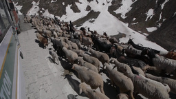 Passing A Flock Of Sheep On The Road,Kashmir,Kashmir,India stock footage