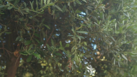 View from below on olive tree with panning left Footage