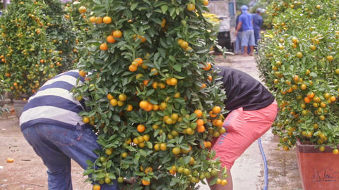 Guys Lift up and Carry Tangerine Tree Pot at Market Footage