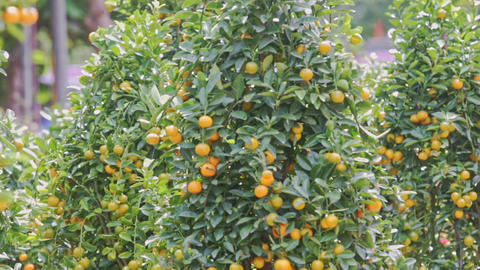 Wind Shakes Green Tangerine Tree Branches With Ripe Fruits GIF