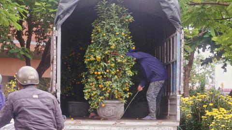 Workers Arrange Big Tangerine Trees in Truck to Transport Footage