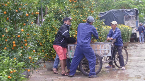 Workers Load Tangerine Trees in Pots to Cart on Market Footage