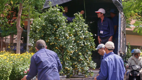 Workers Carry Tangerine Trees in Special Cart Load into Truck Footage