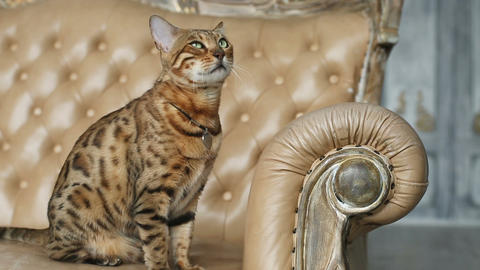 Beautiful Stylish Bengal Cat Footage