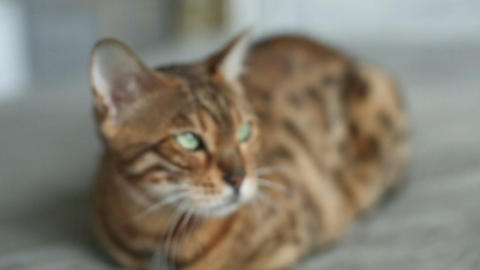 Domestic Bengal Cat Laying Footage