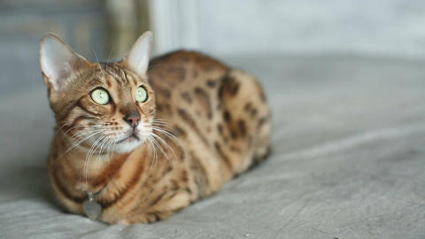 Funny Bengal Cat Lying Footage